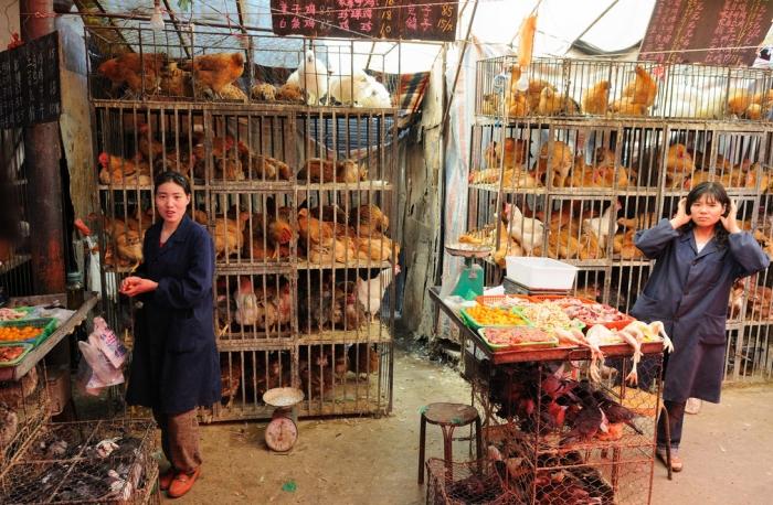 jaulas con gallinas