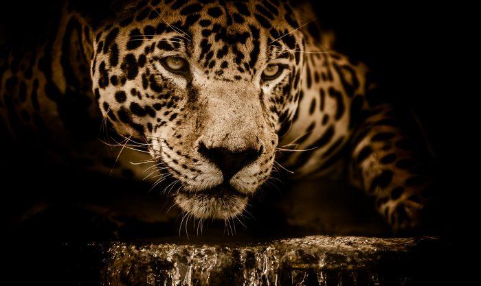 Yaguarete, jaguar, Panthera onca