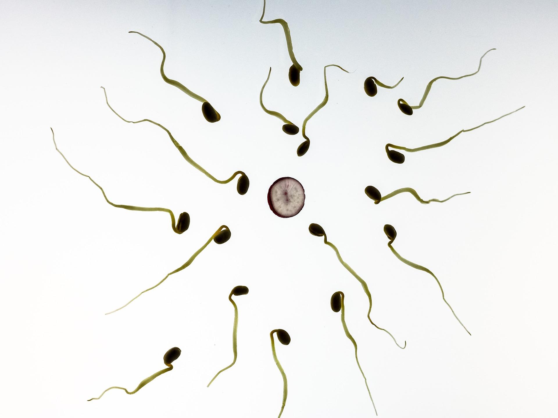espermatozoides hacia la fecundación de óvulo