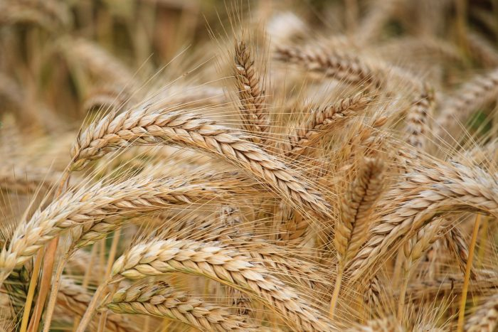 Trigo-fertilizantes-celiaquía