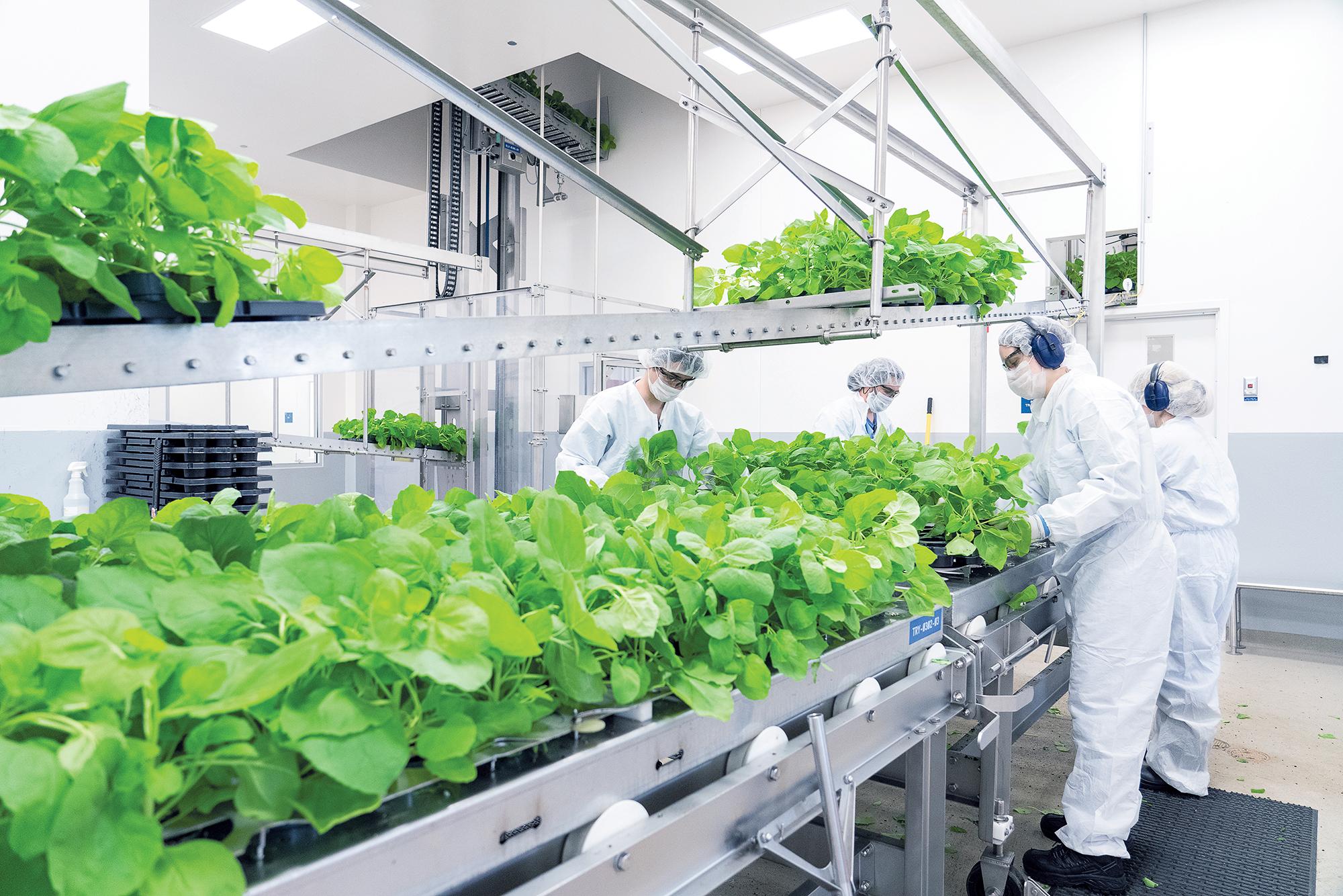 Producción de la vacuna vegetal contra Covid-19